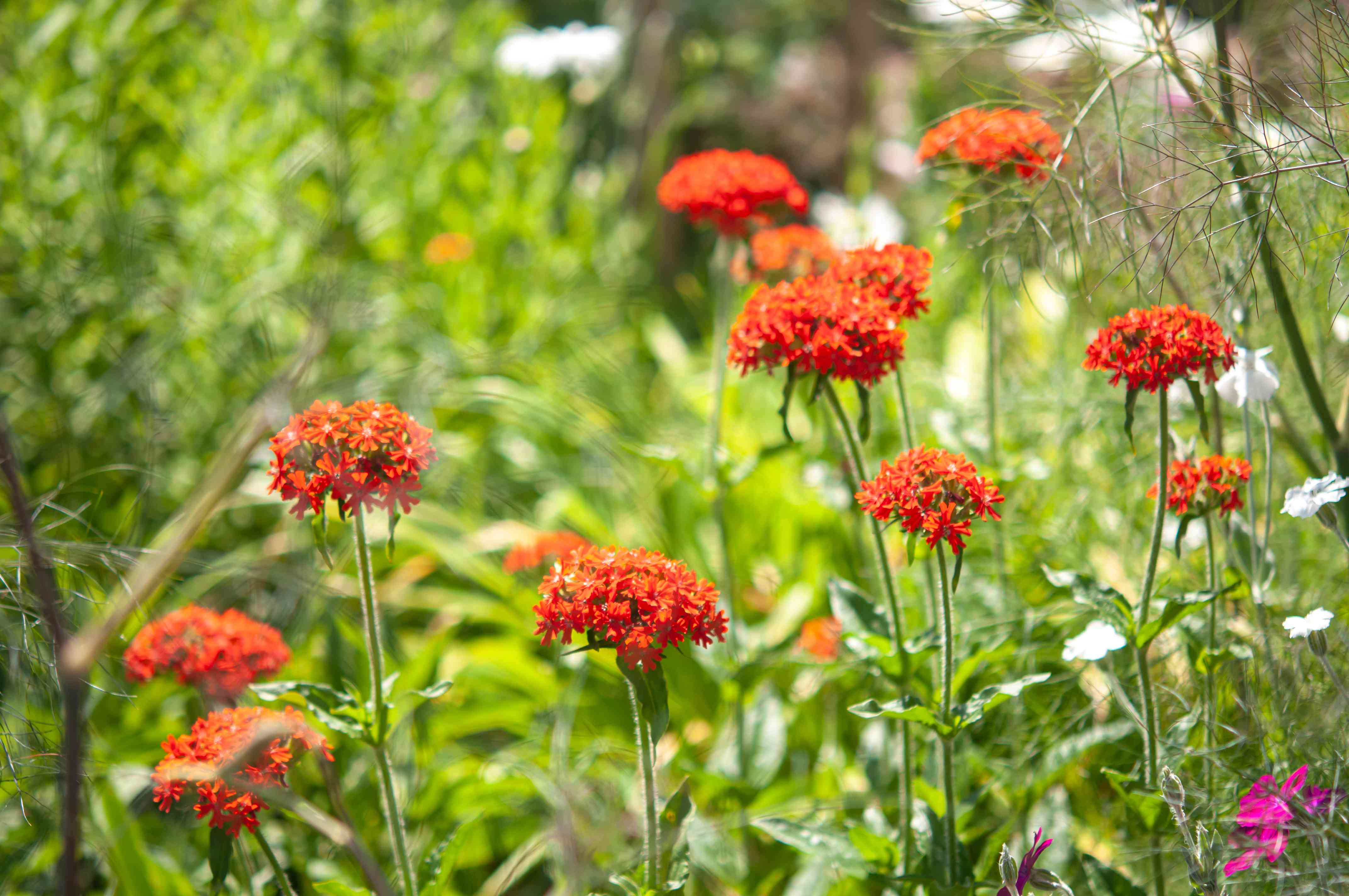 Maltese cross plants with orange-red flower clusters on thin stems