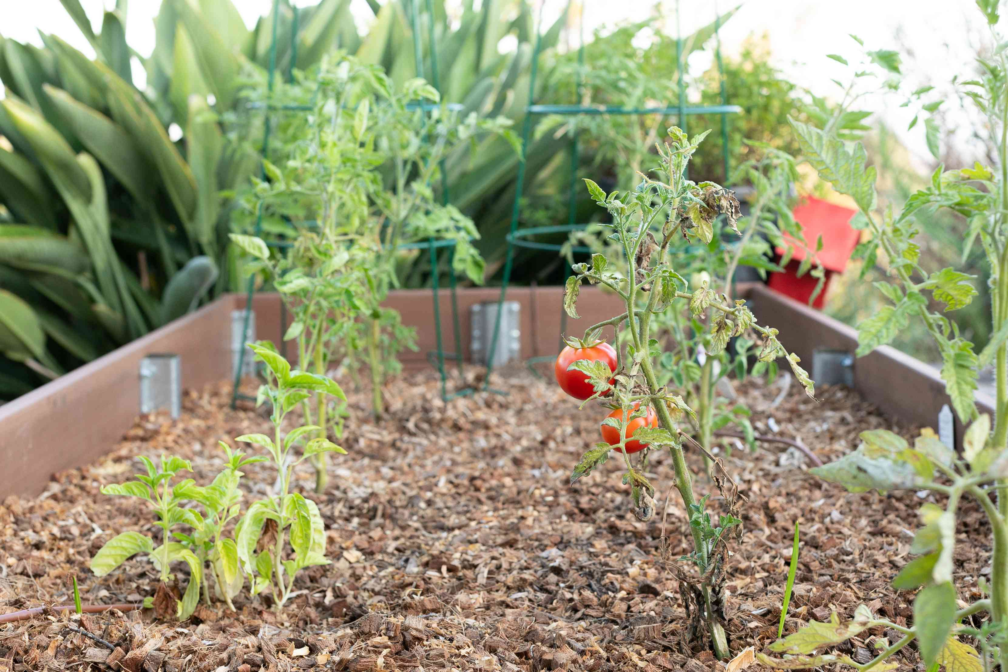Vegetable garden plants designed and growing in wide rows in raised garden bed