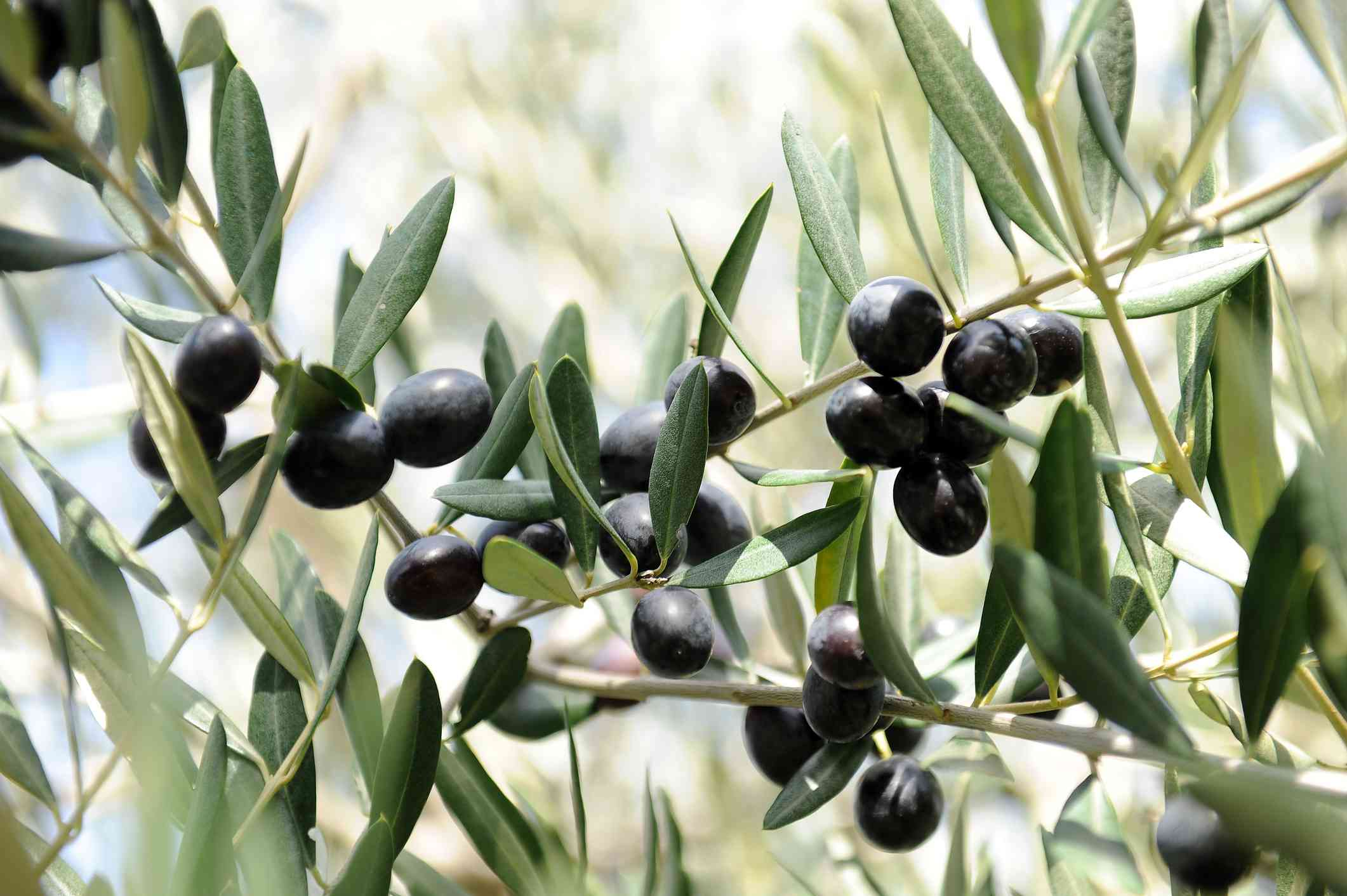 Black Frantoio olives on branches