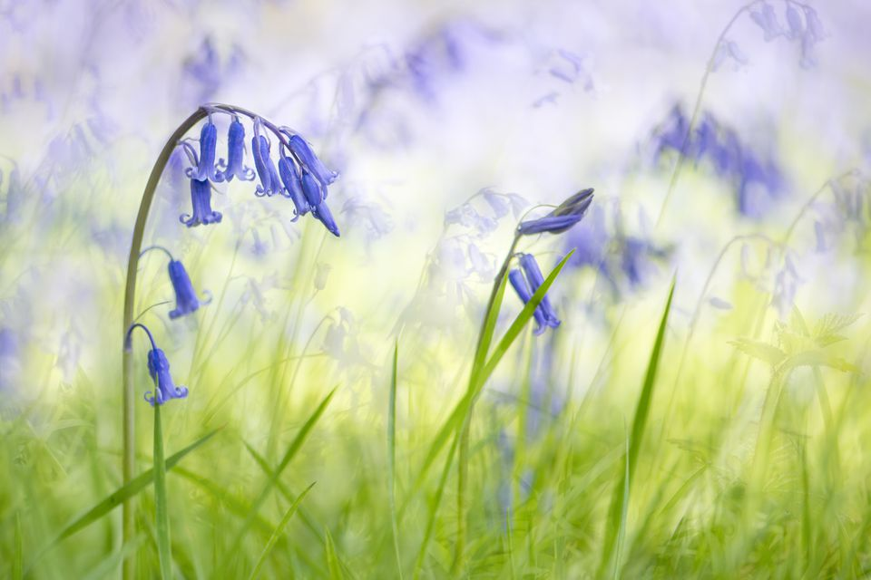 English Bluebells (Hyacinthoides non-scripta) blooms in spring woodlands. Iver, Buckinghamshire, United Kingdom.