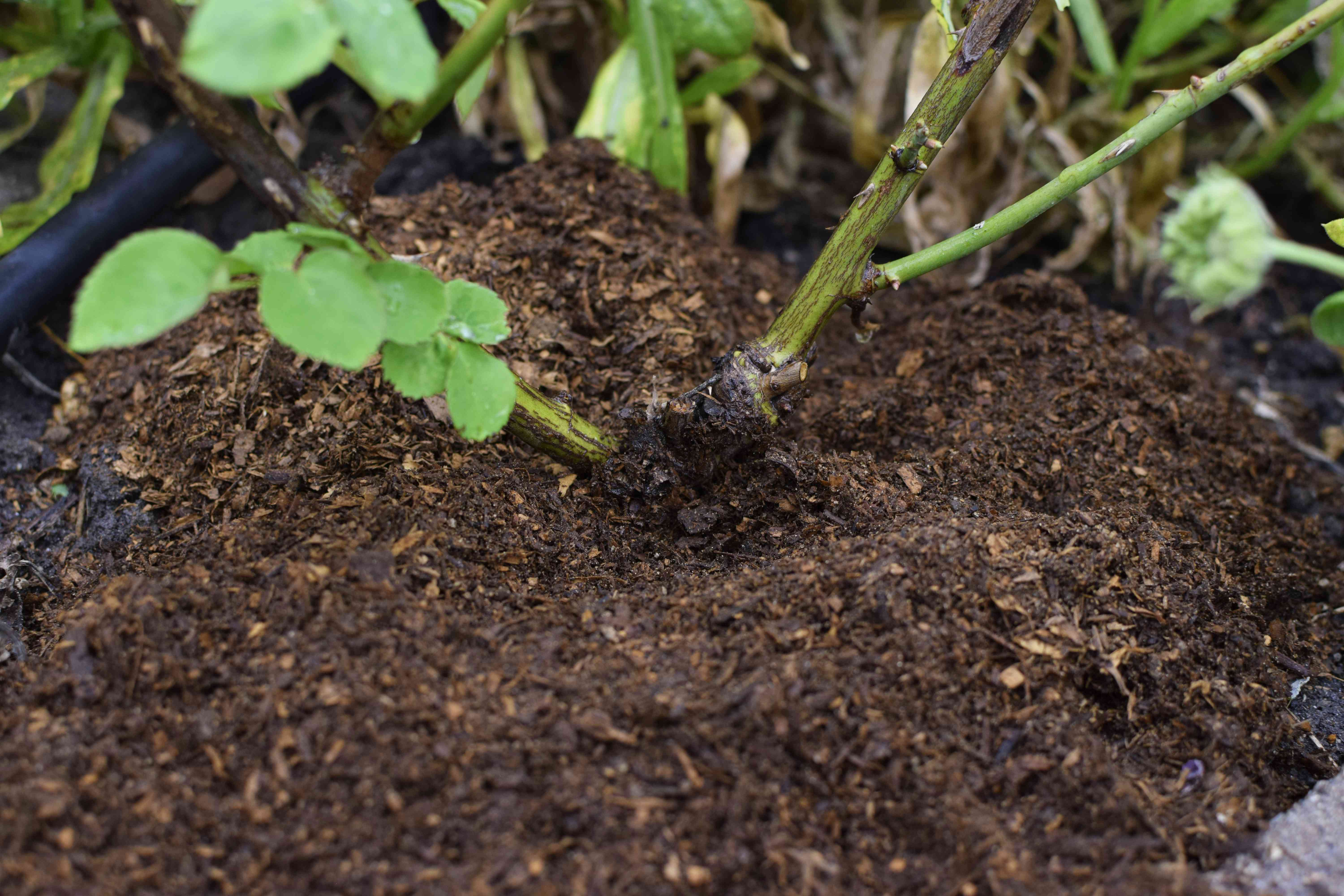 Graft union of rose roots covered with compost soil additive
