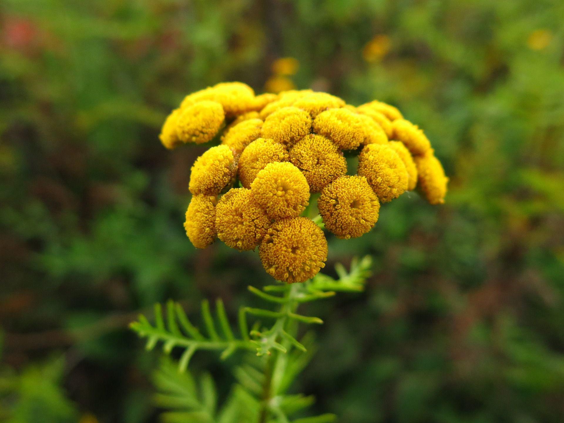 Tansy Flowers Invasive Poisonous Herb Plants