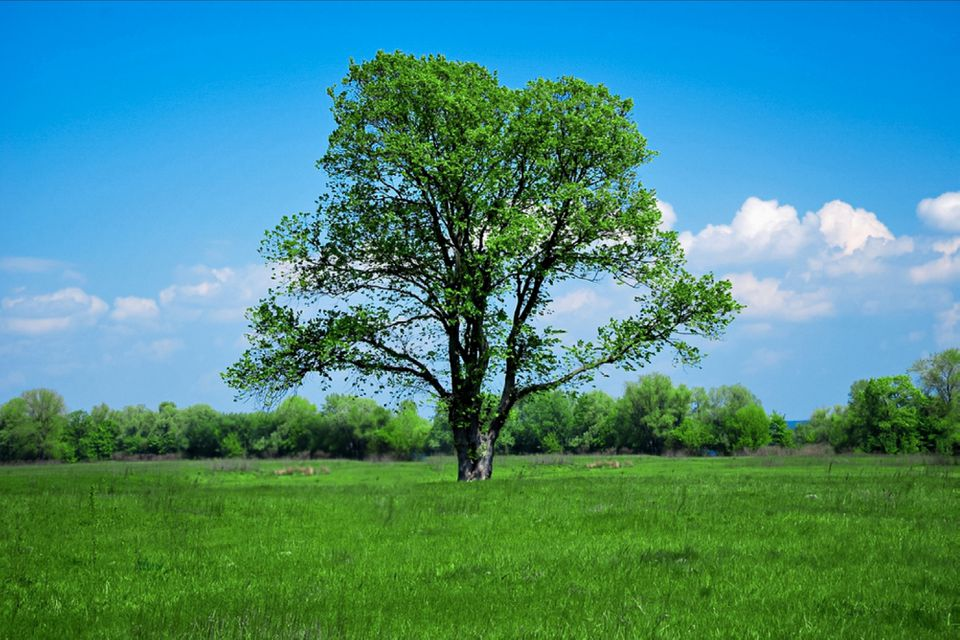 Large solitary tree in middle of a green field against blue sky