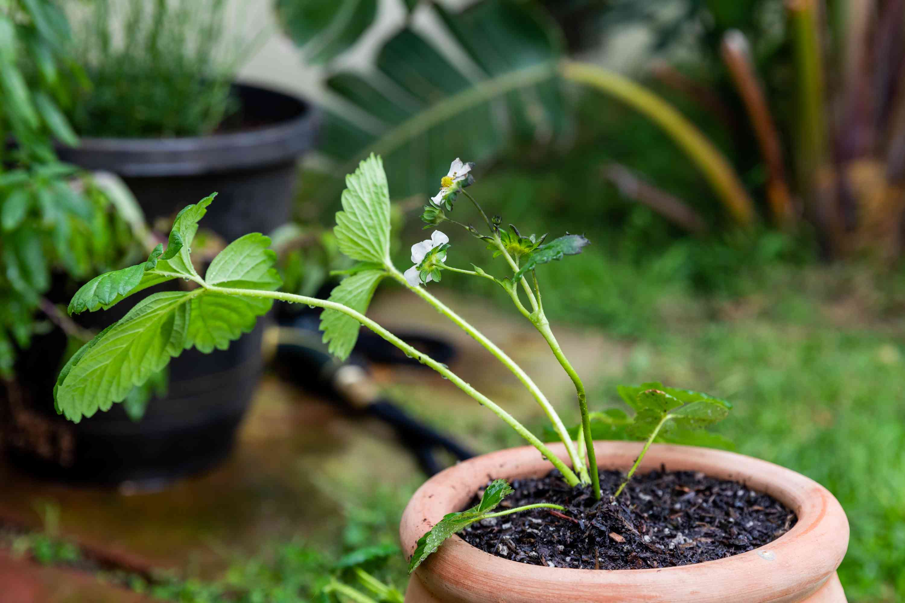Strawberry plant with small white flowers potted in ceramic pot