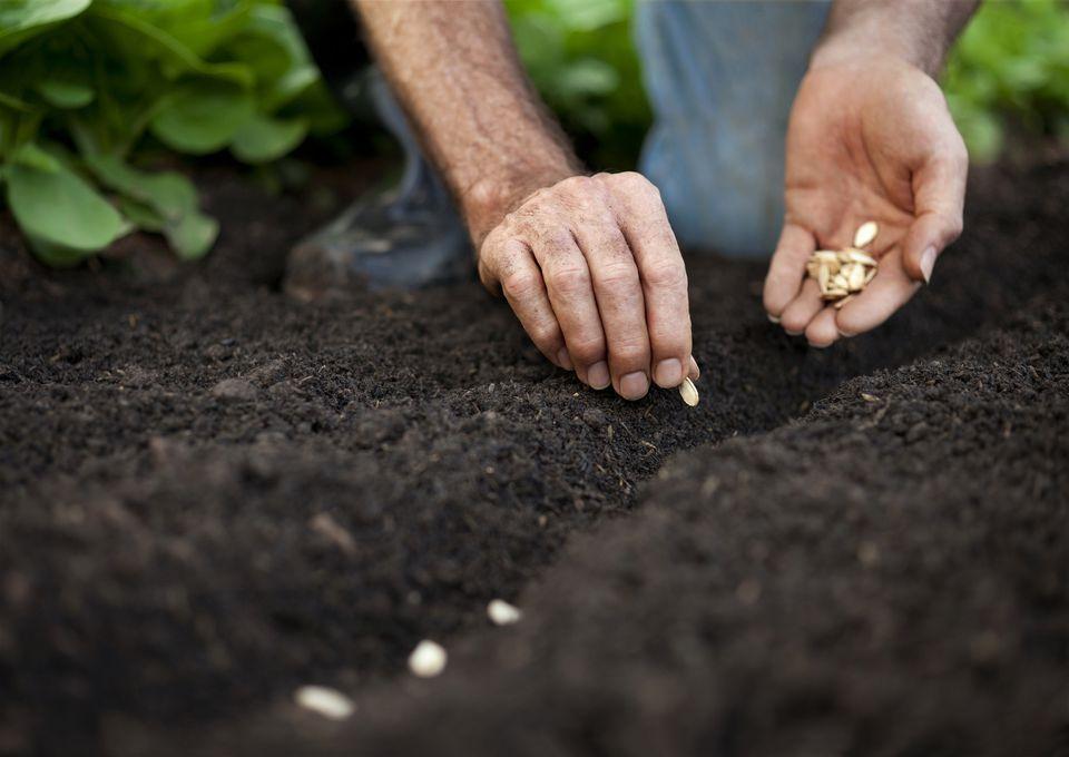 The hands of a man planting pumpkin seeds