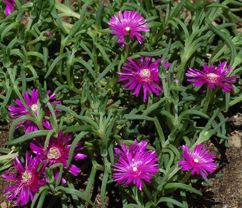 Ground covers for sun the best plants for sunny spots iceplant is a flowering ground cover the iceplant in this photo has purple flowers mightylinksfo