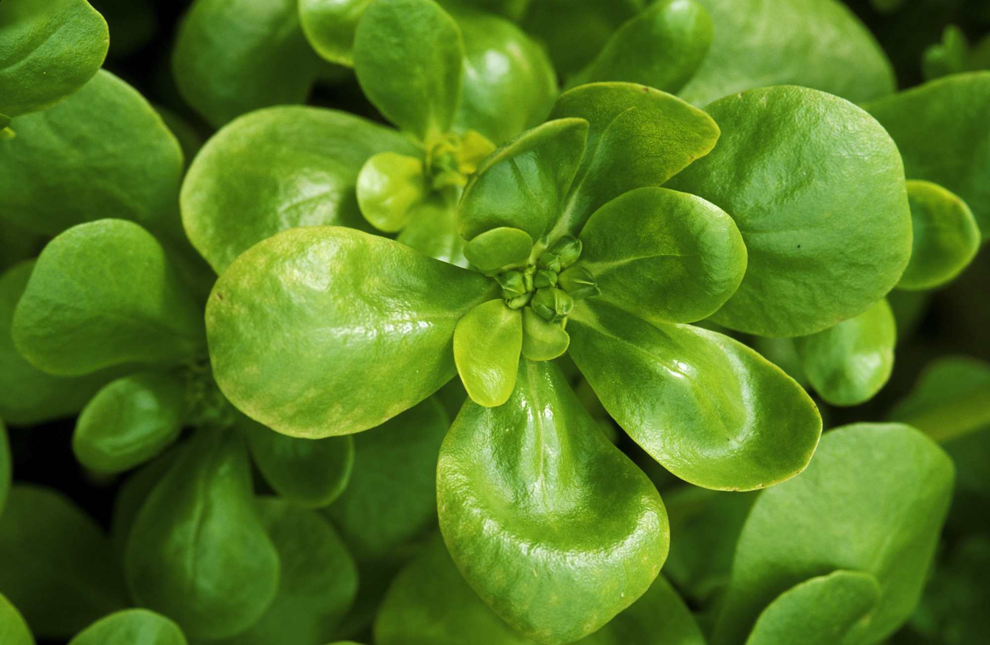 golden purslane. september. close up of gold and green plant.