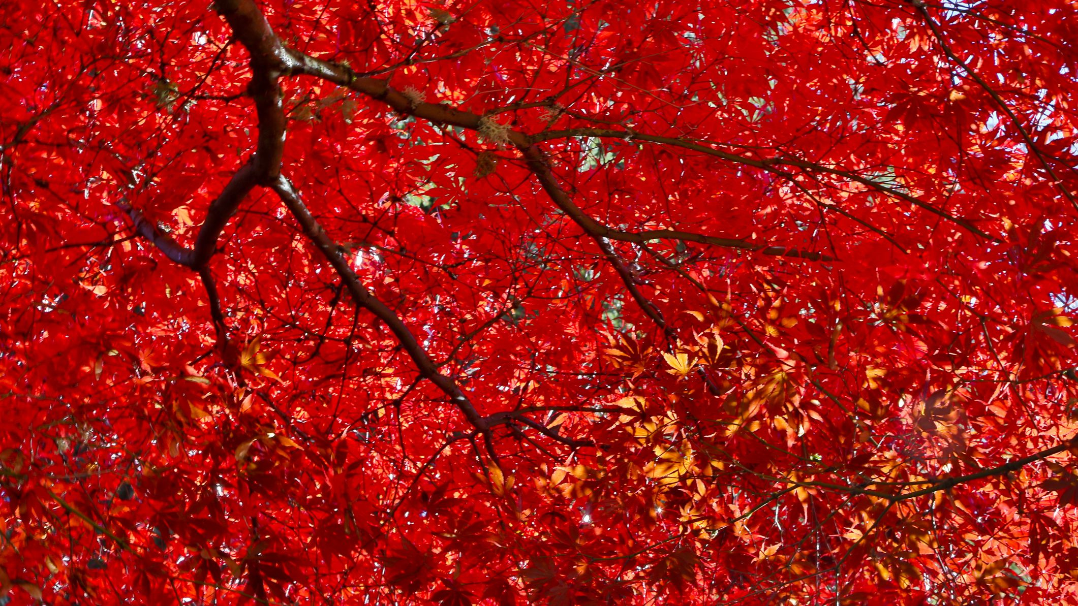 15 Varieties Of Japanese Maple Trees With Colorful Foliage