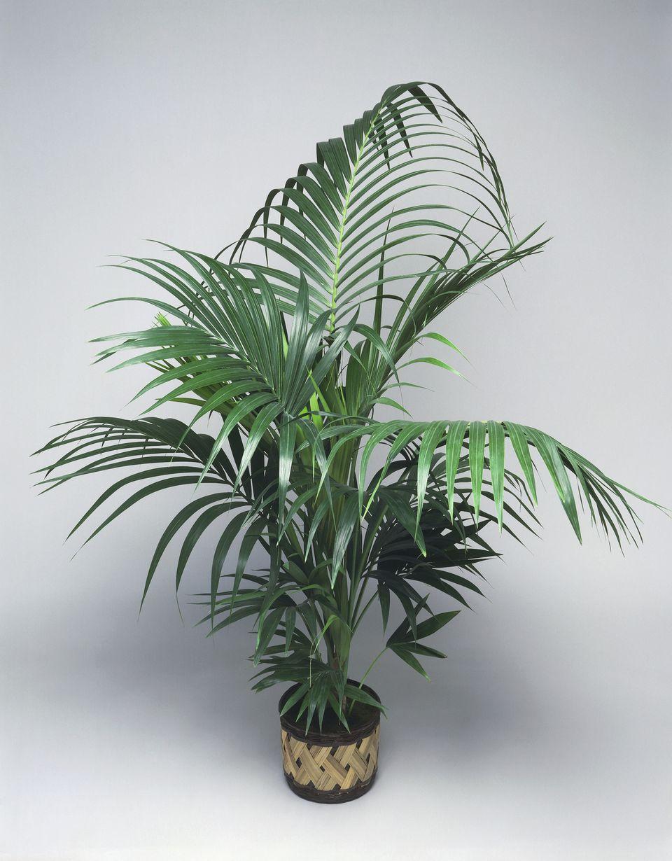 Growing Kentia Palms Howeia Species