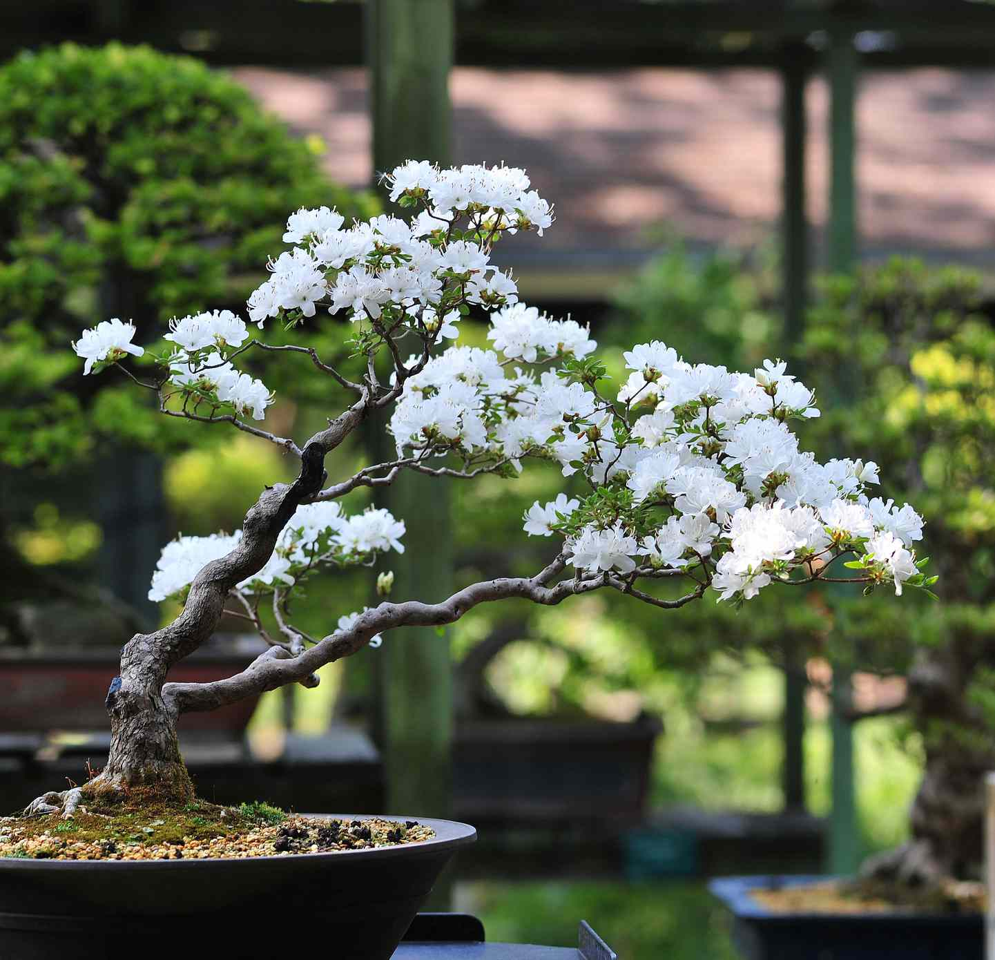 A cherry bonsai tree with white cherry blossoms sits in front of green trees in thebackground.