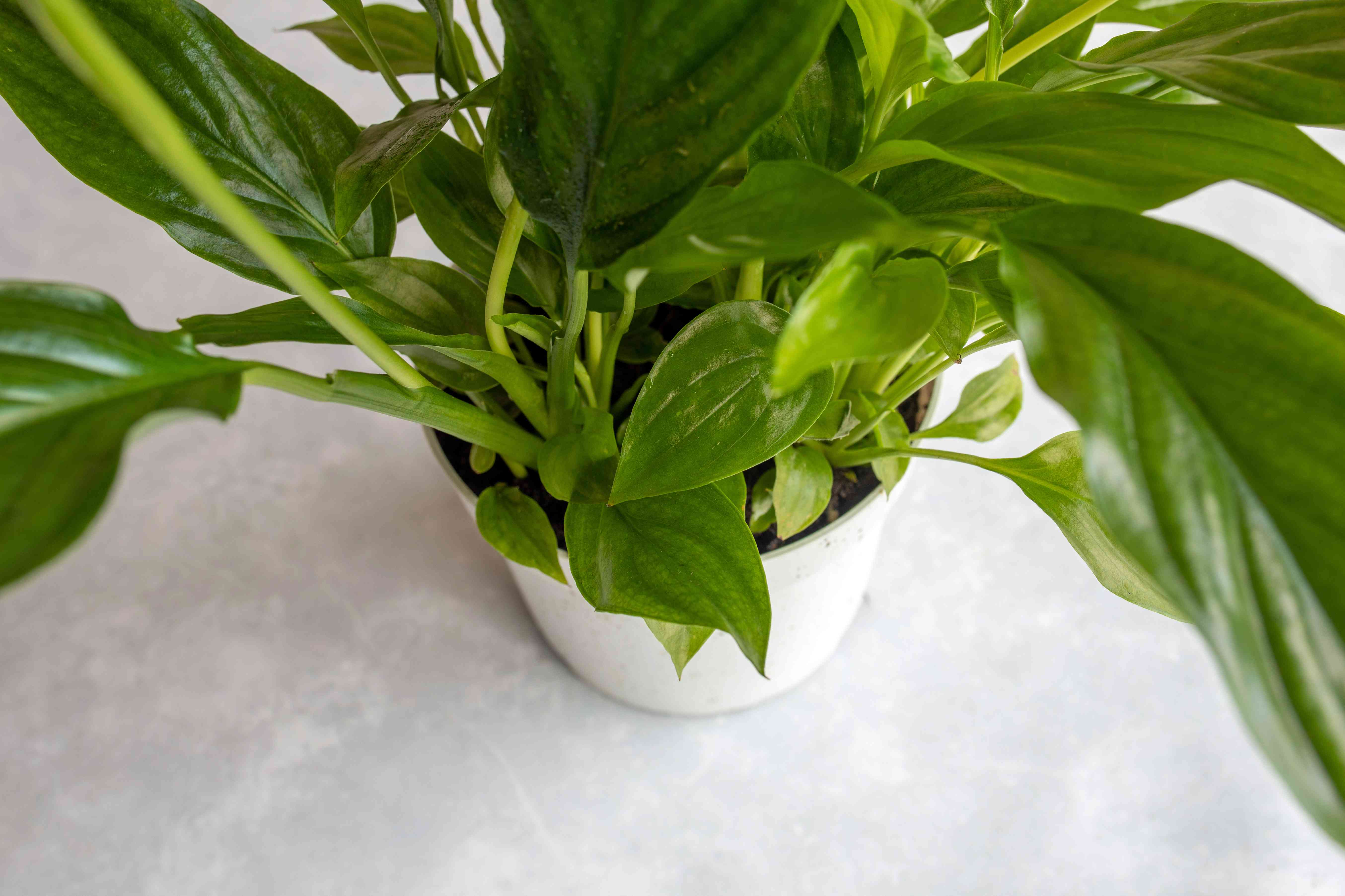 overhead shot of peace lily leaves