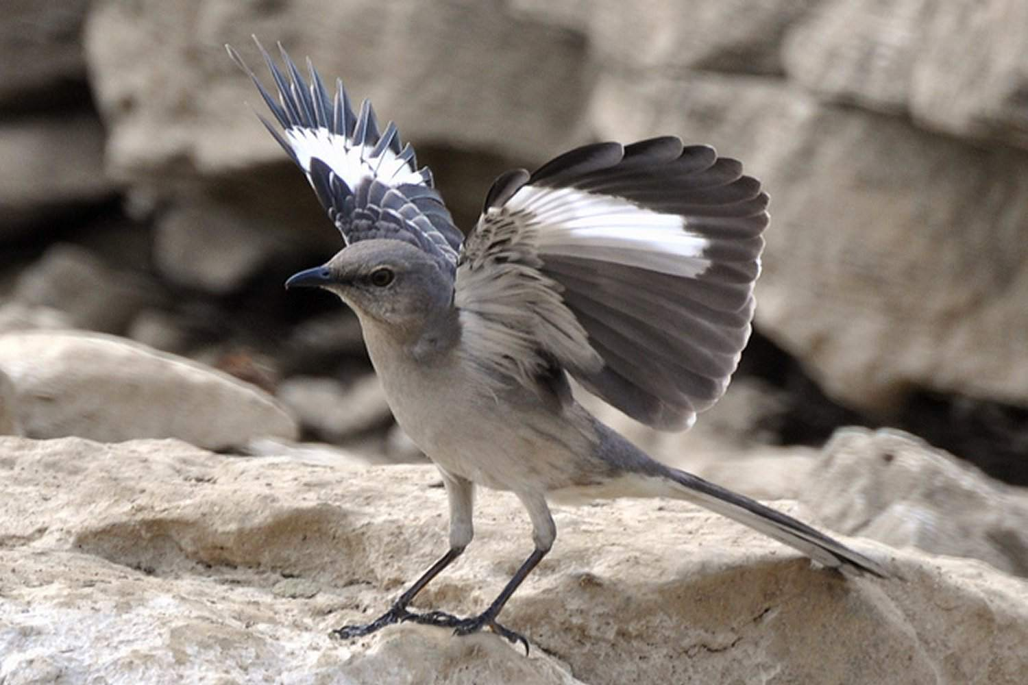 Northern Mockingbird, the state bird of Texas, with its wings extended.
