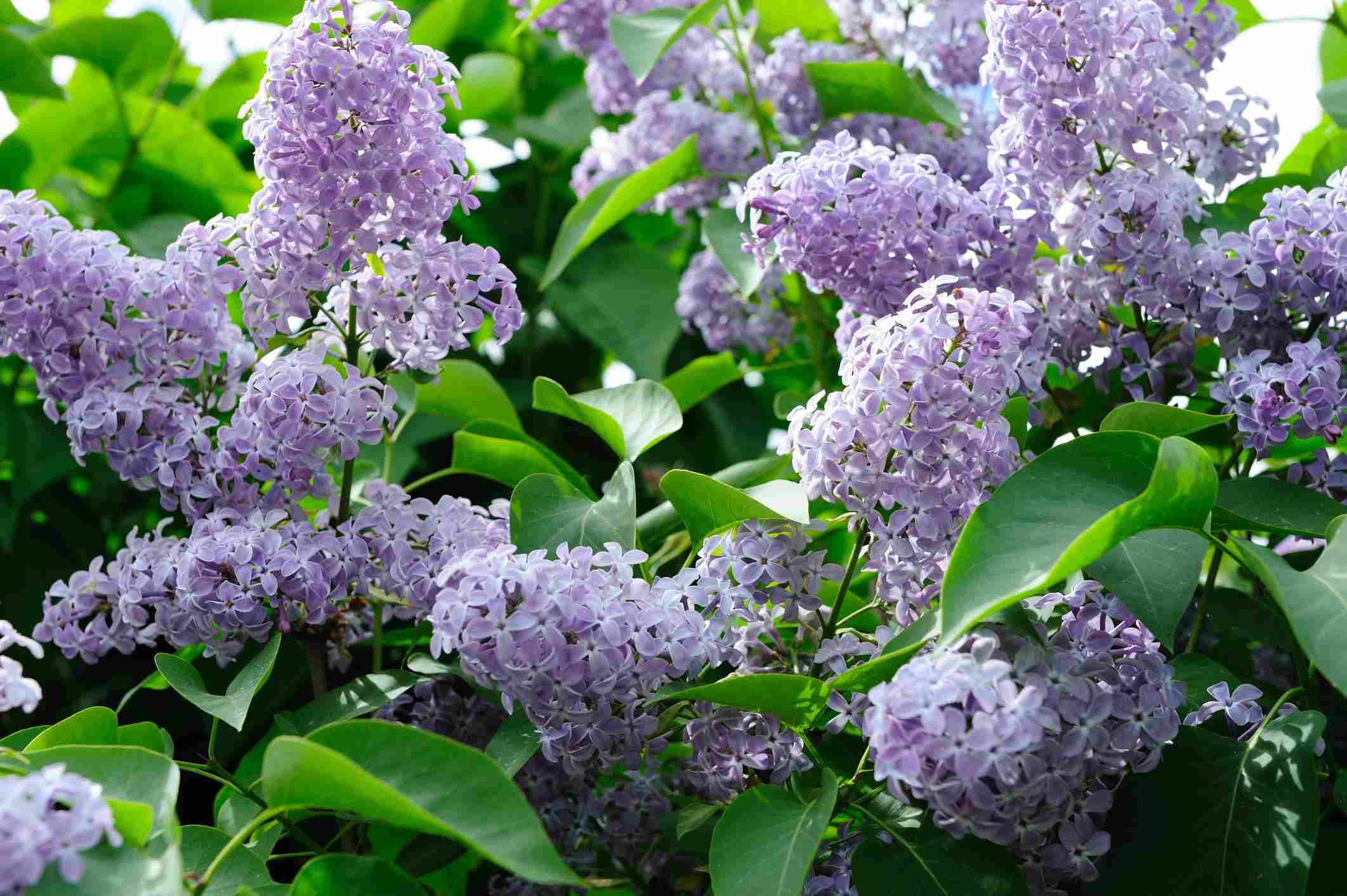 arbusto de lila que florece con flores de color lila .