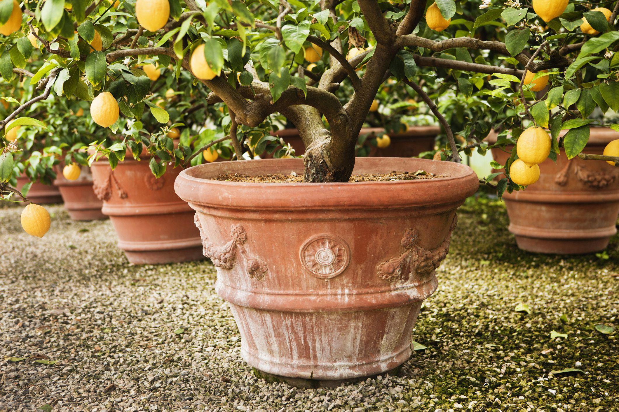 Potted Orange Trees