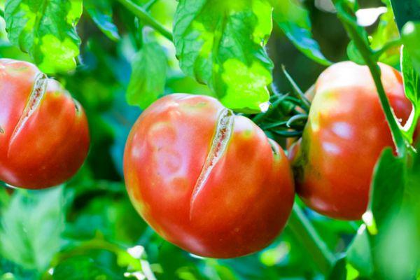 splitting tomatoes