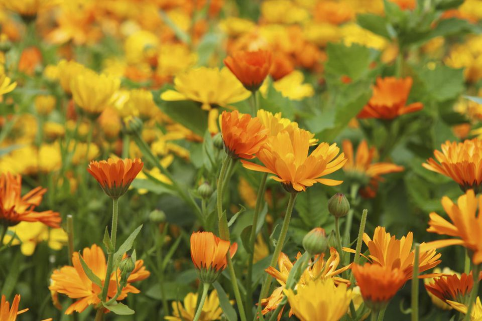 Yellow and orange marigold (Calendula)flowers in a large flowerbed. The petals from Marygold are edible. This photo is from a 4 ha. large, organic cultivated garden called 'The wonder garden' in Western Jutland, Denmark