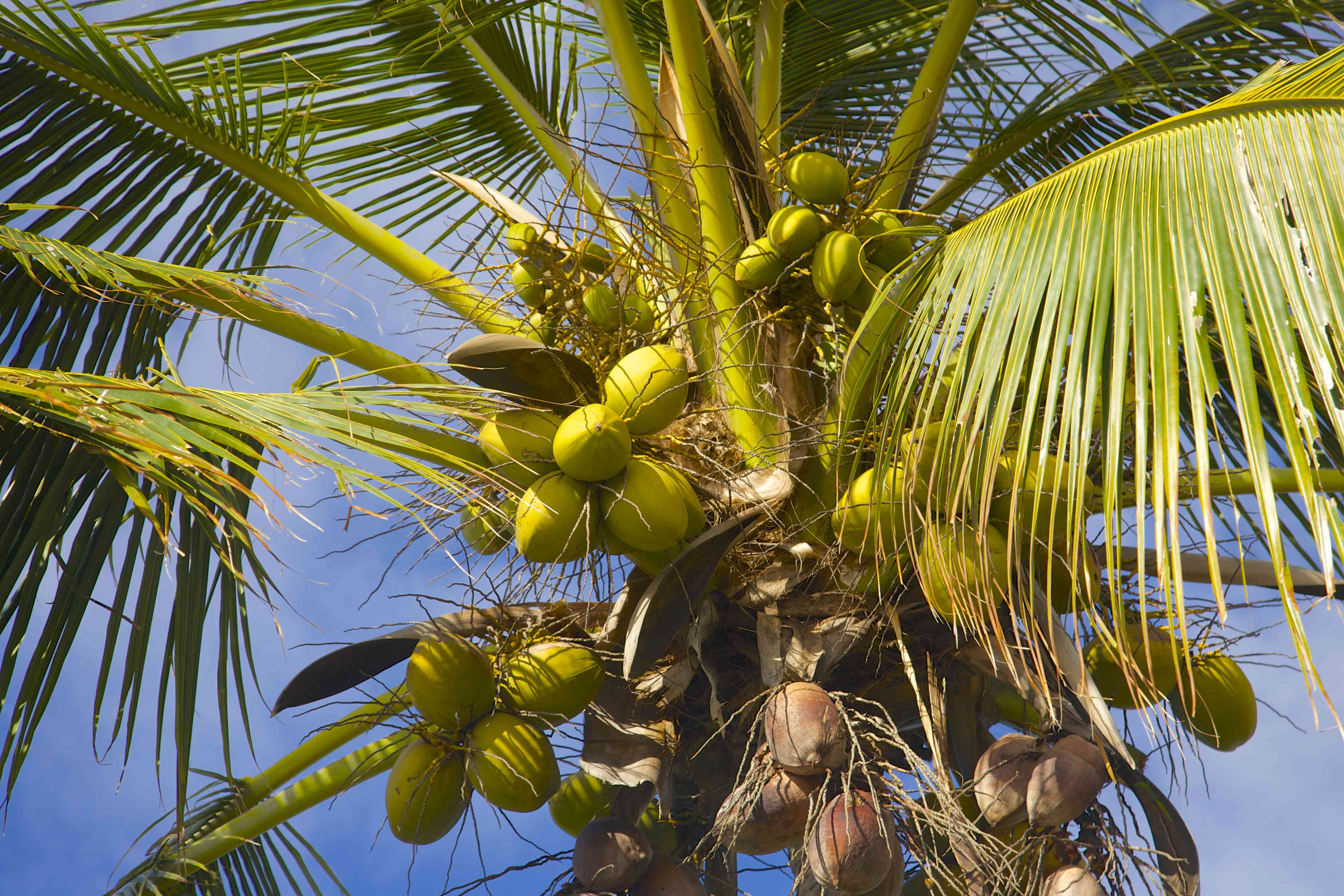 Coconuts hanging on coconut palm tree in Hawaii