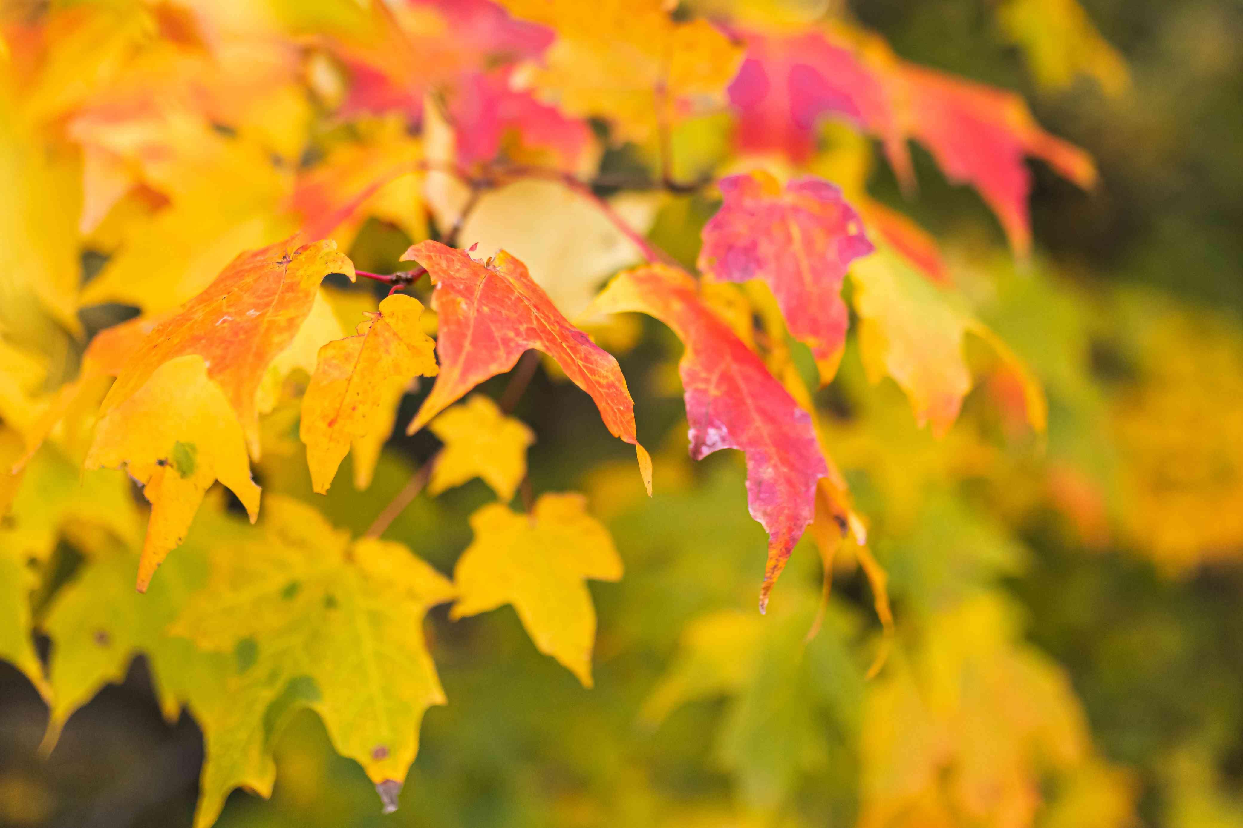 closeup of red maple foliage