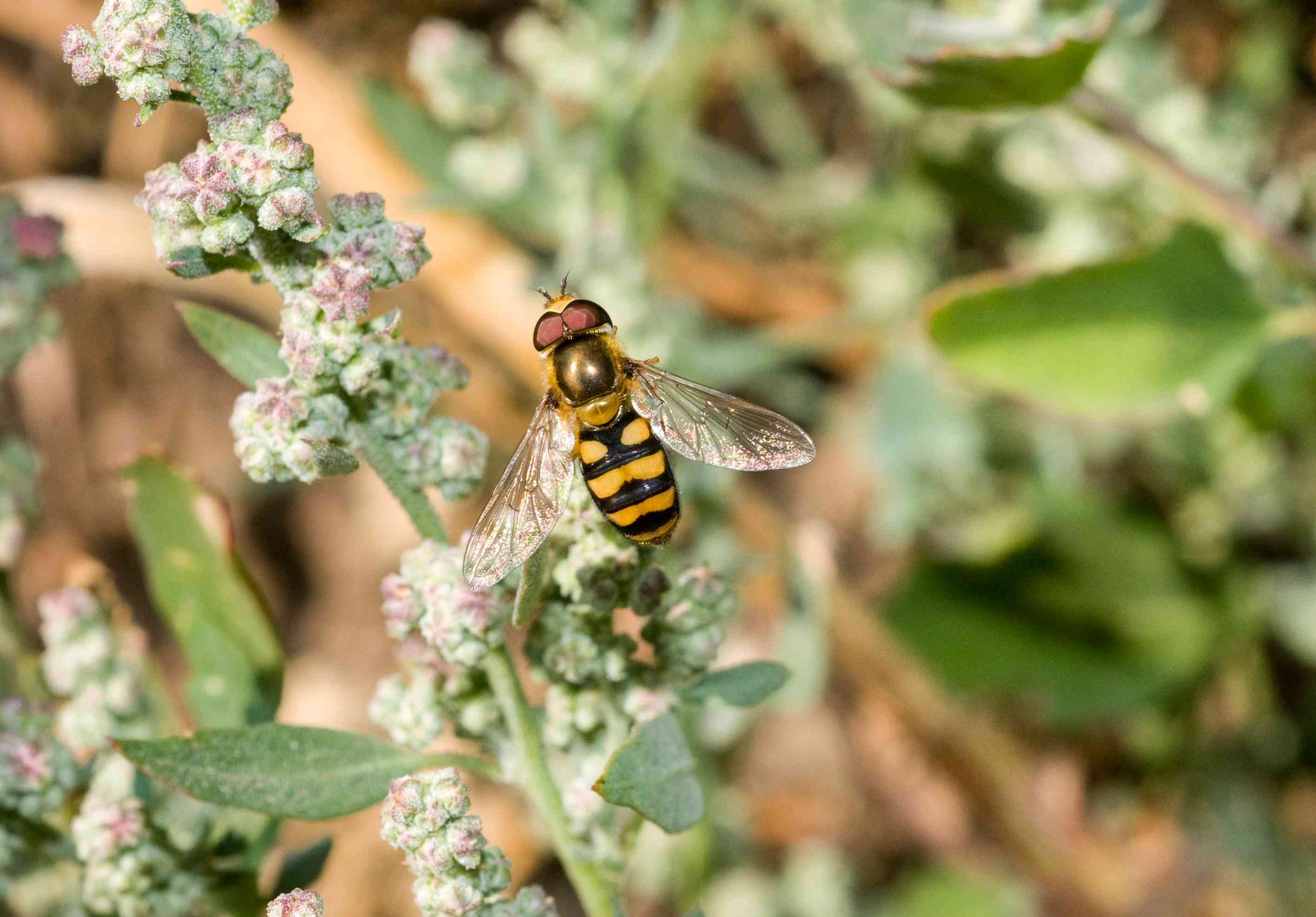 Hoverflies are attracted by small flowers