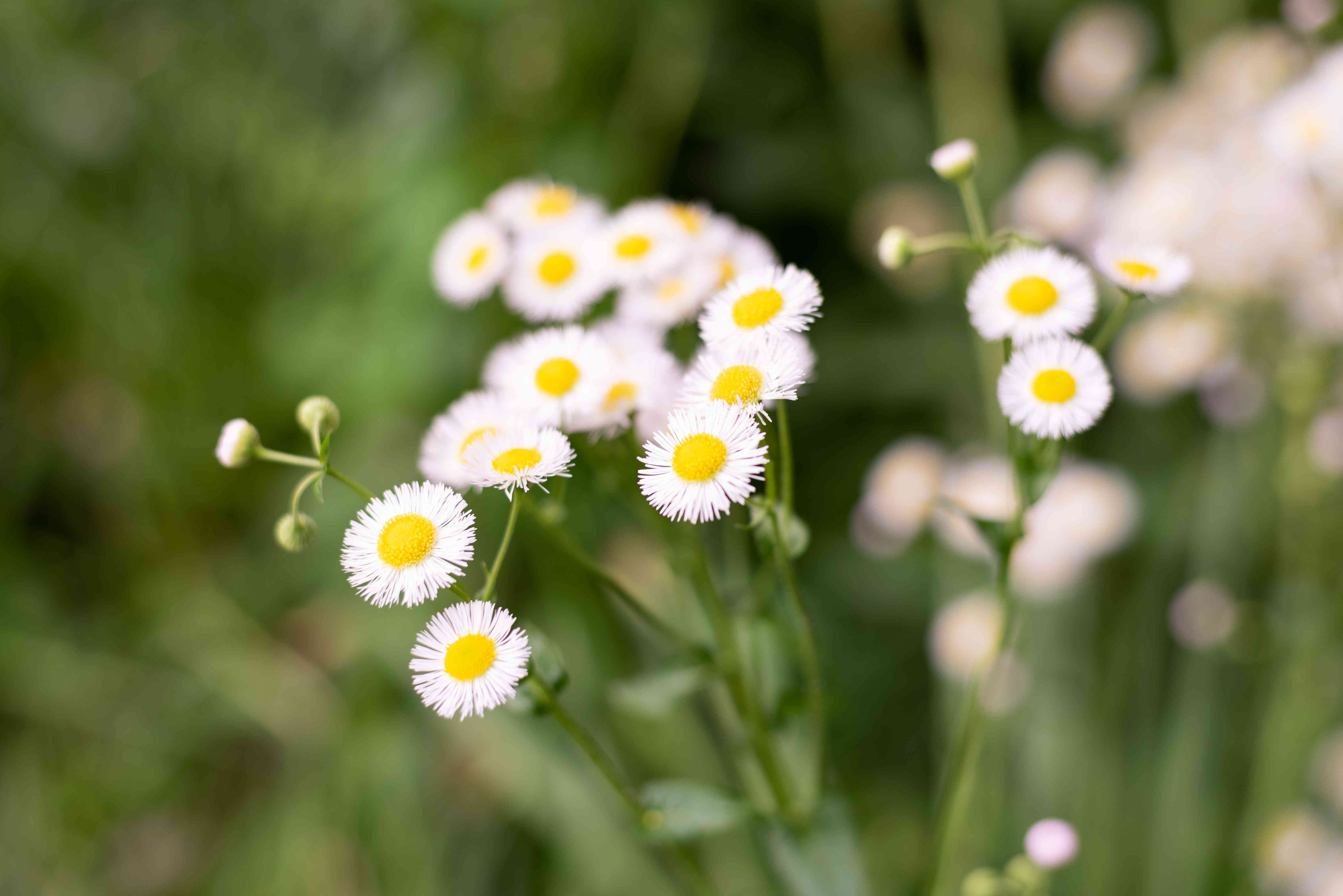 Mexican fleabane with small white flowers with yellow centers and buds on stems