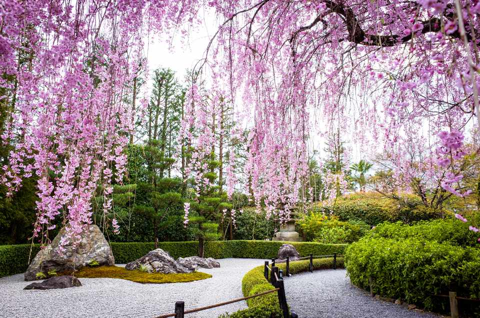 Weeping cherry blossoms by Japanese zen garden