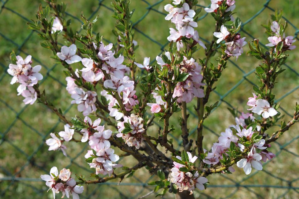 Dwarf flowering almond bush has giant impact in spring bloomiing almond tree mightylinksfo