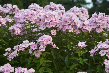 several plants of rosa pastell tall garden phlox growing together - Tall Garden Phlox