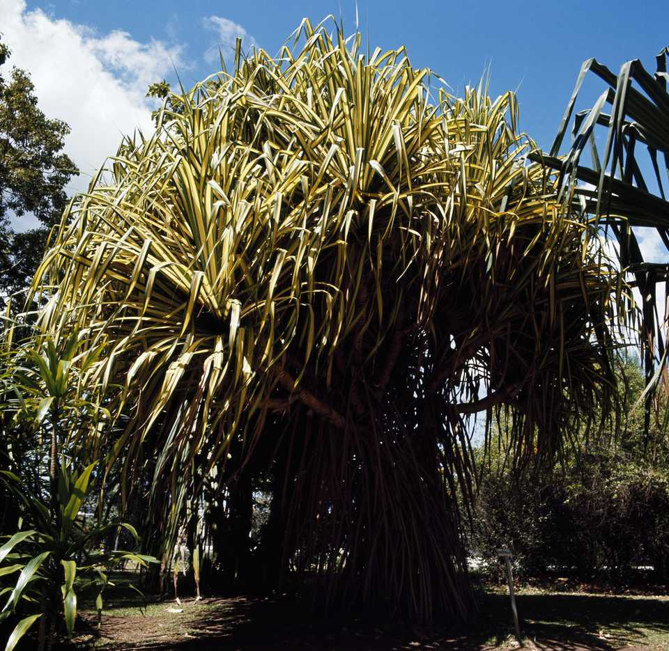 A mature pandanus veitchii plant
