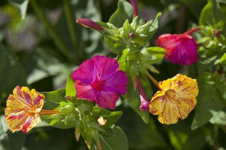 How to grow four oclock flowers four oclock flowers mirabilis jalapa mightylinksfo