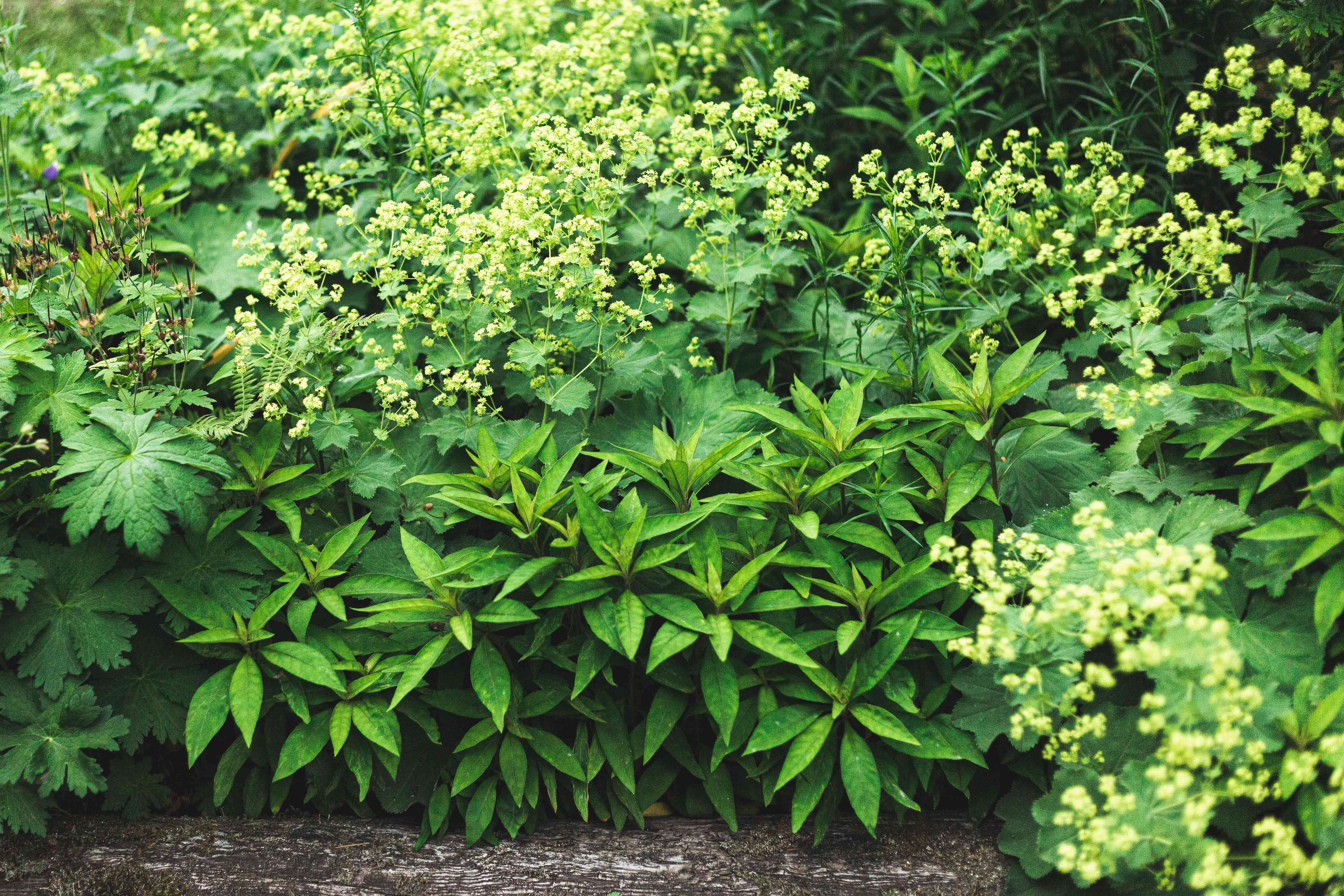 lady's mantle used in landscaping