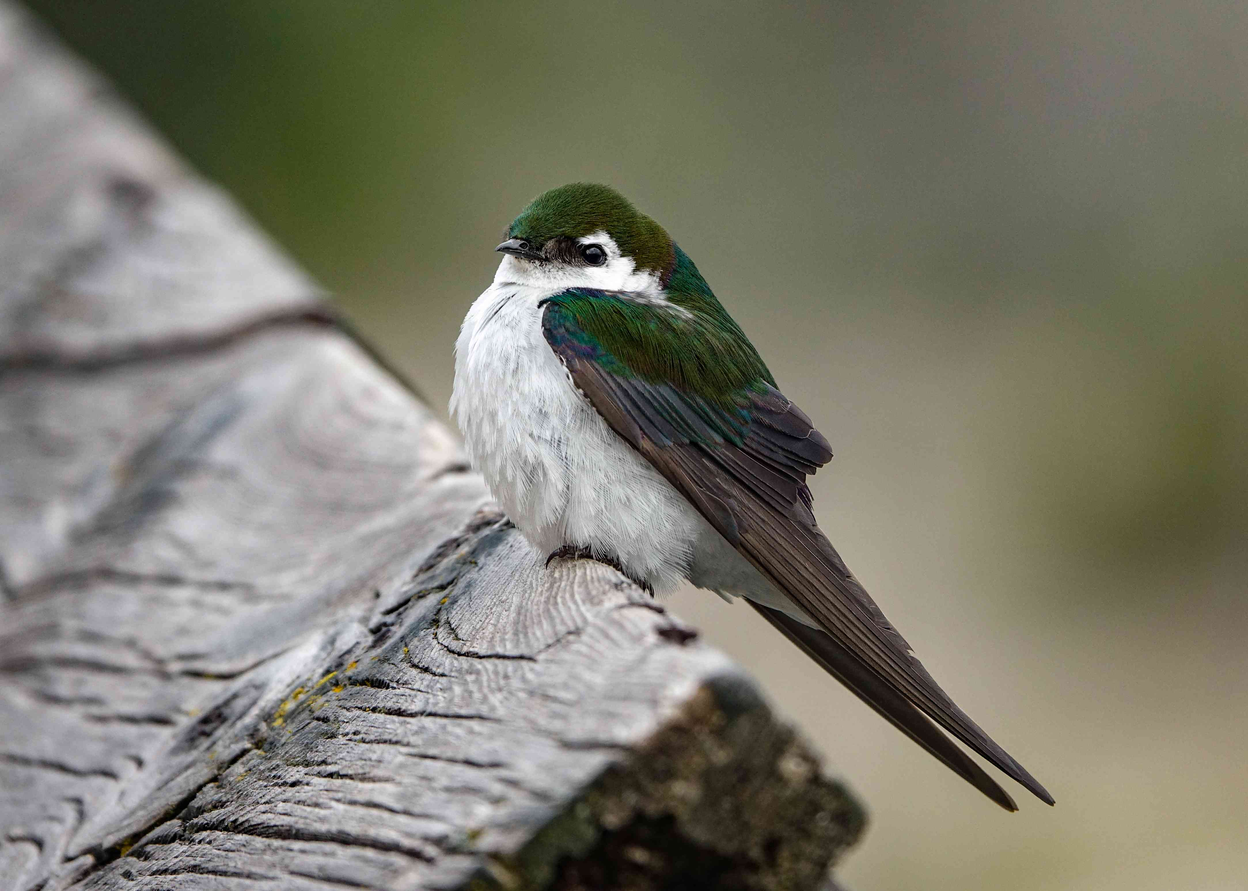 Violet-Green Swallow, Mammoth Hot Springs, Yellowstone National Park, Wyoming
