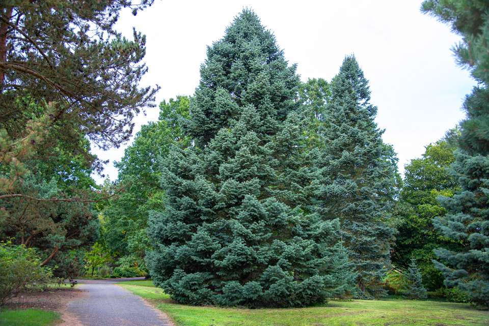 White fir tree growing in a tall triangular shape next to cement pathway