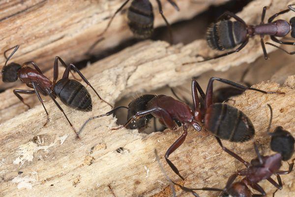 Carpenter ants, Camponotus herculeanus