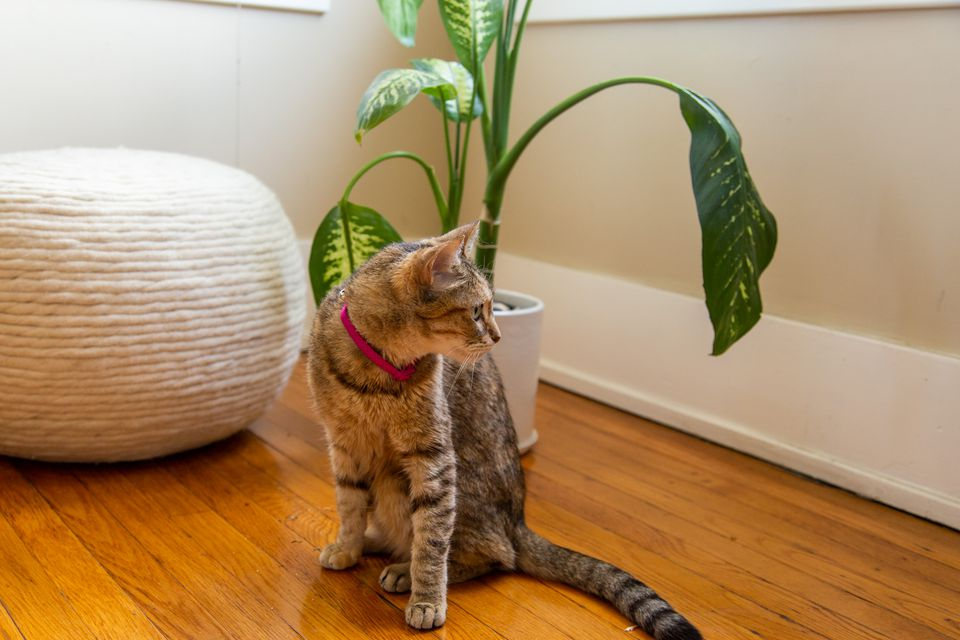 Brown striped cat sitting in front of a houseplant and cushion