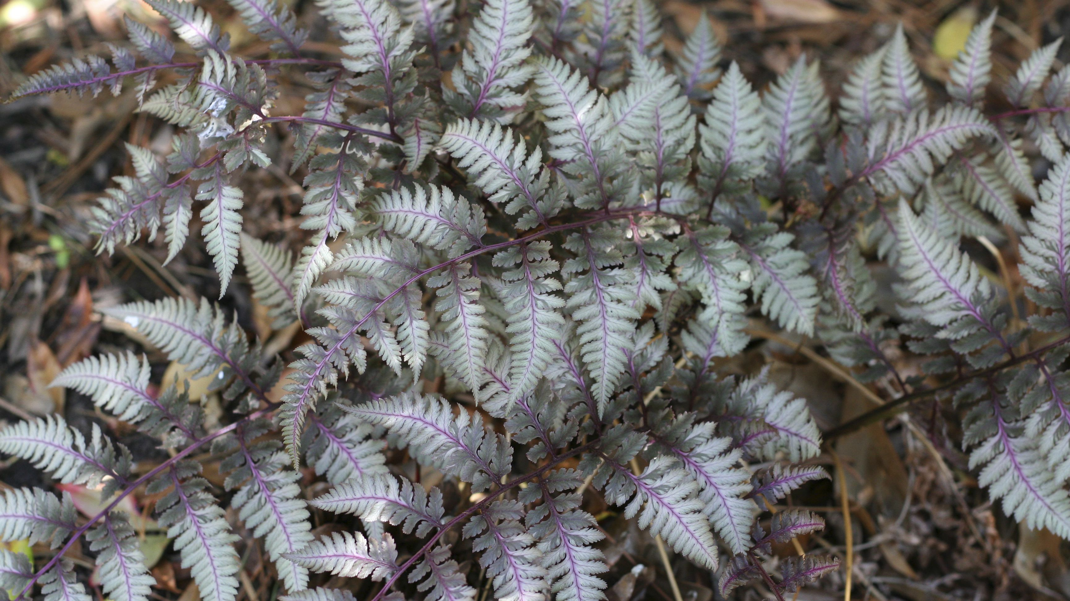 How To Grow And Care For Japanese Painted Ferns