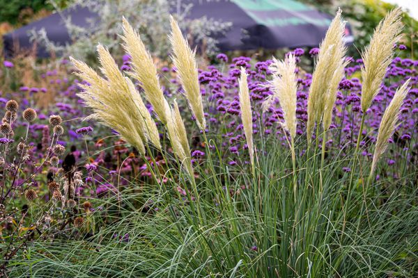 Pampas grass with light tan plumes on thin stems in front of purple flowers