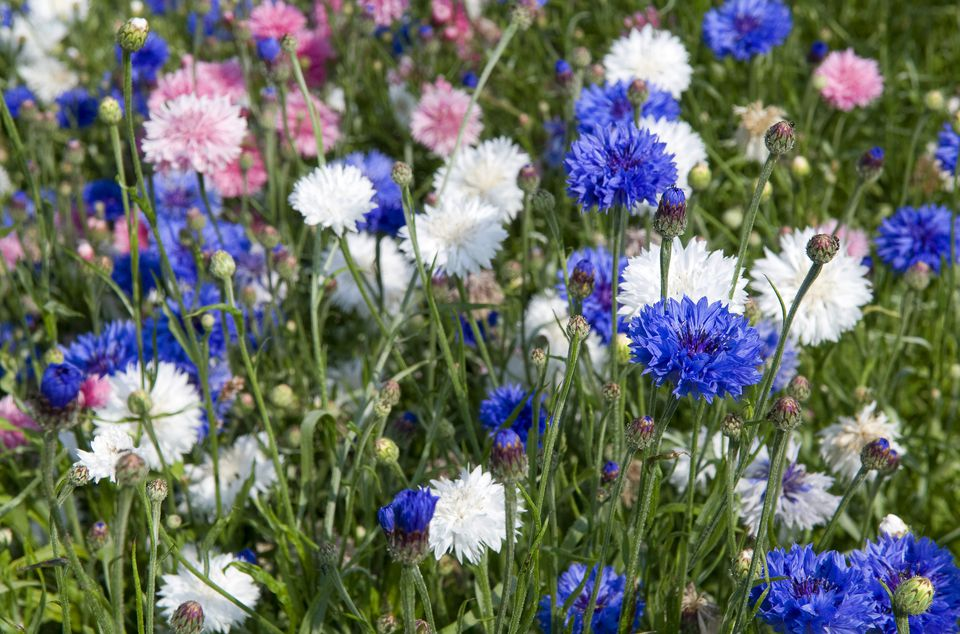Mixed Cornflowers up-close