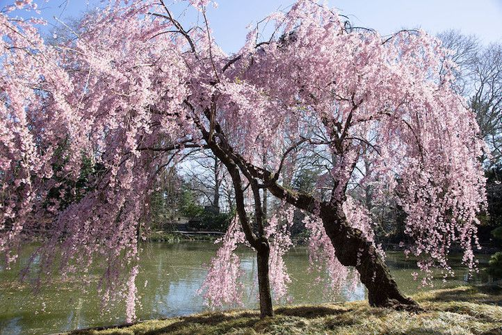 Weeping cherry tree in flower by a pond
