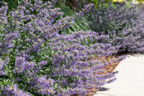 catmint as edging in a landscape