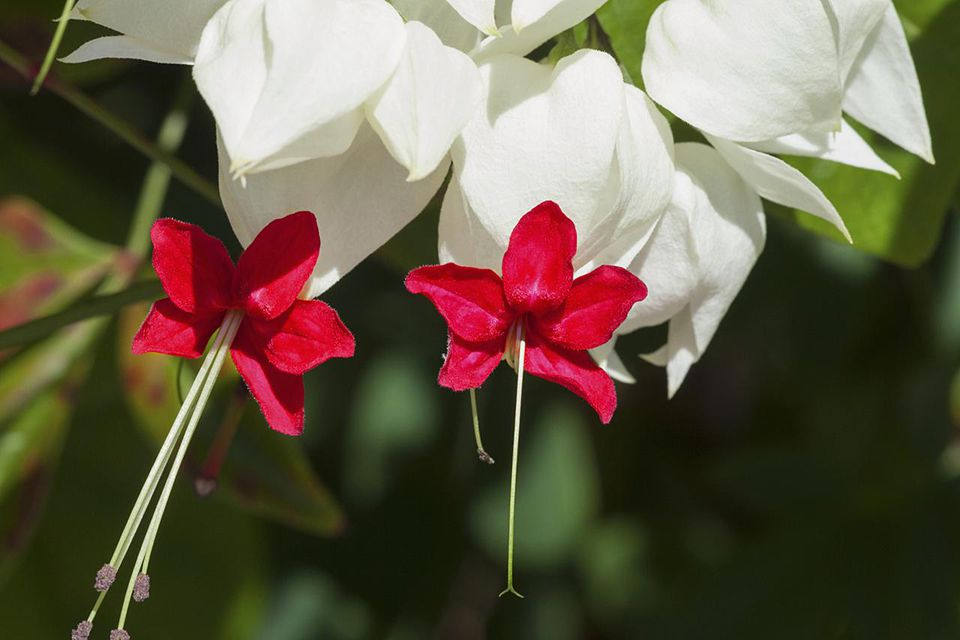 Bleeding glory-bower or Bleeding-heart vine (Clerodendrum thomsoniae) is a tender tropical vine which resembles the bleeding heart plant.