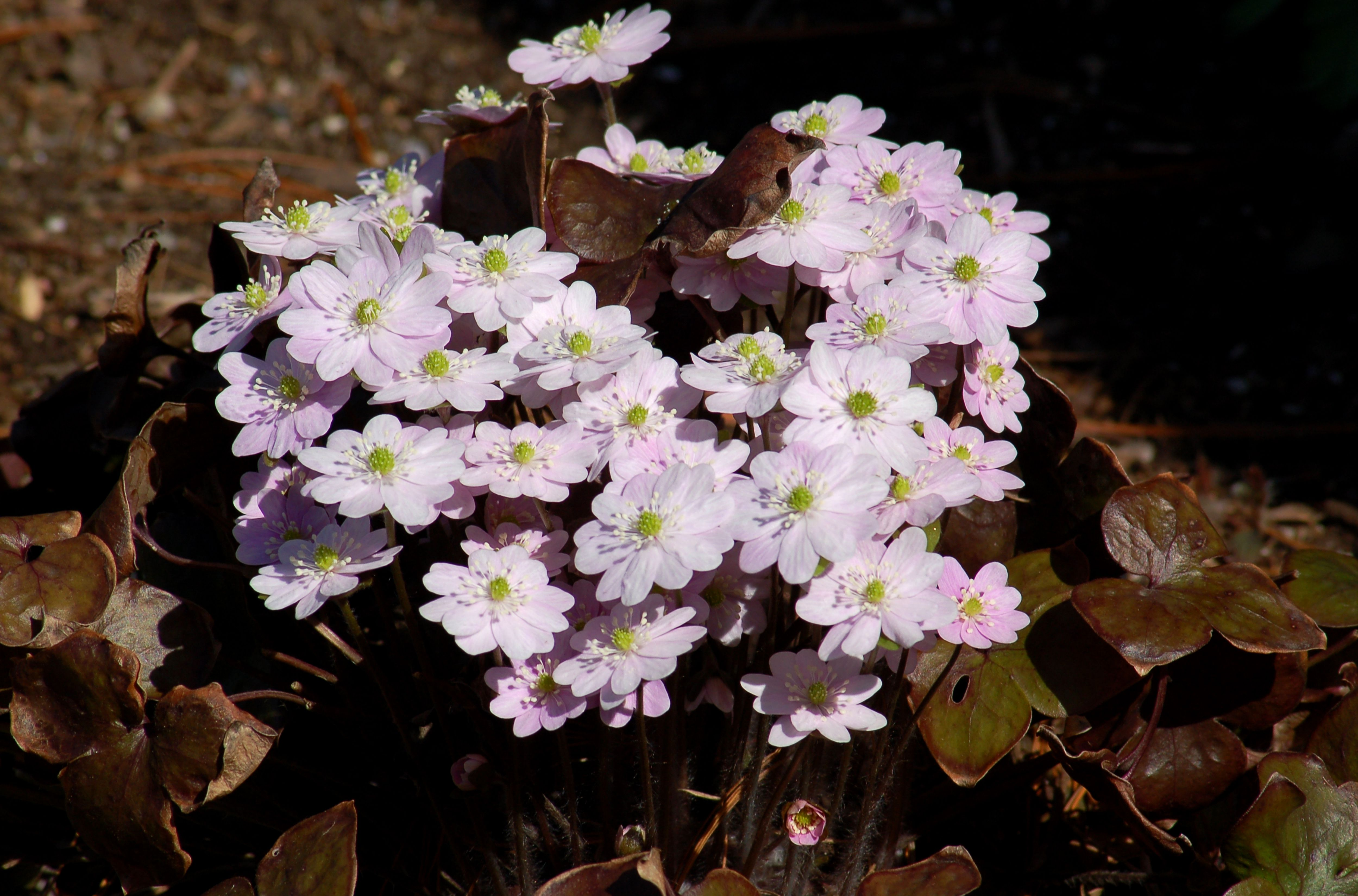 Hepatica flowers in pink