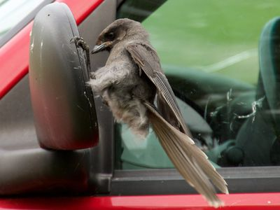 When Birds Hit Windows