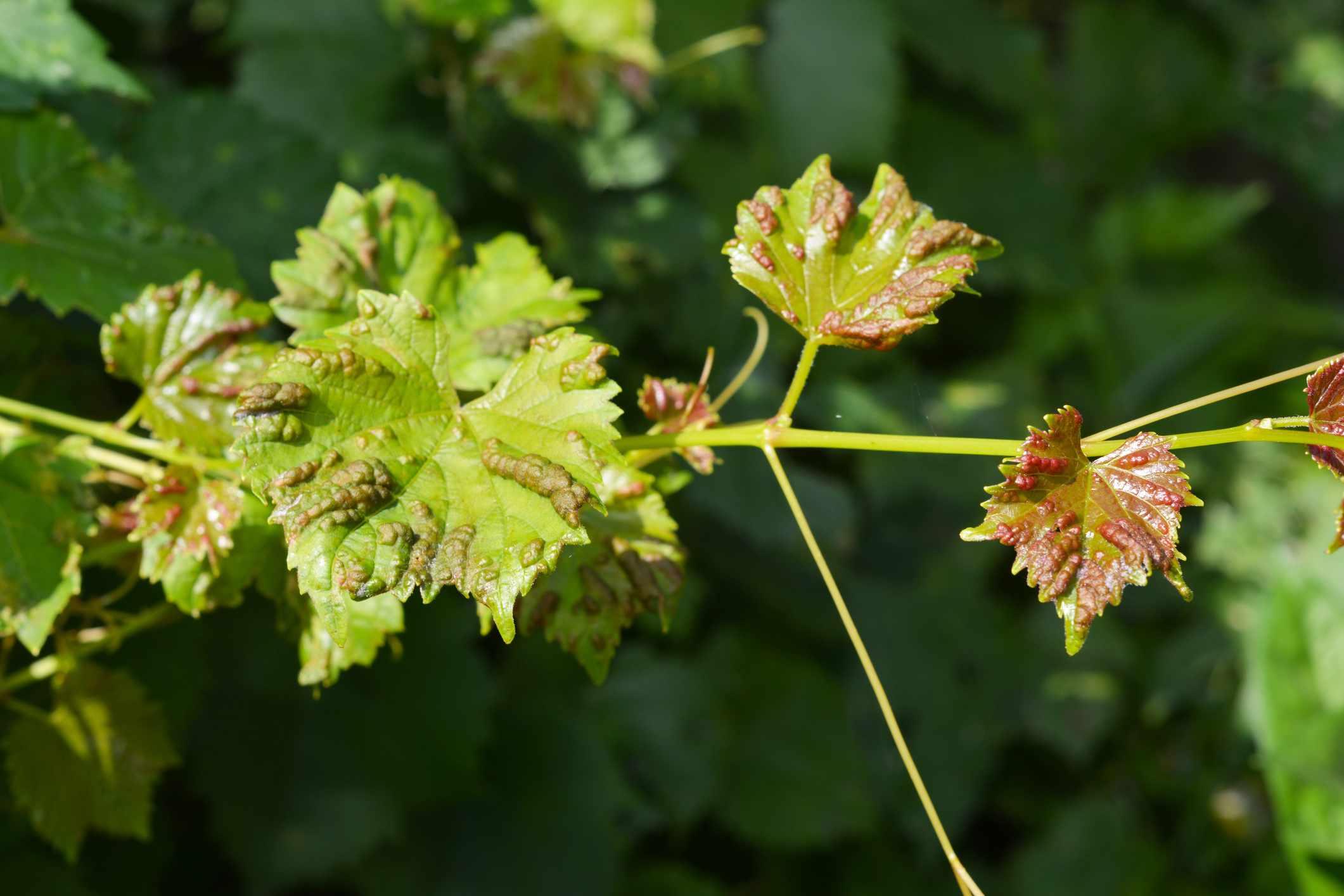 Anthracnose of grapes (Elsinoe ampelina)