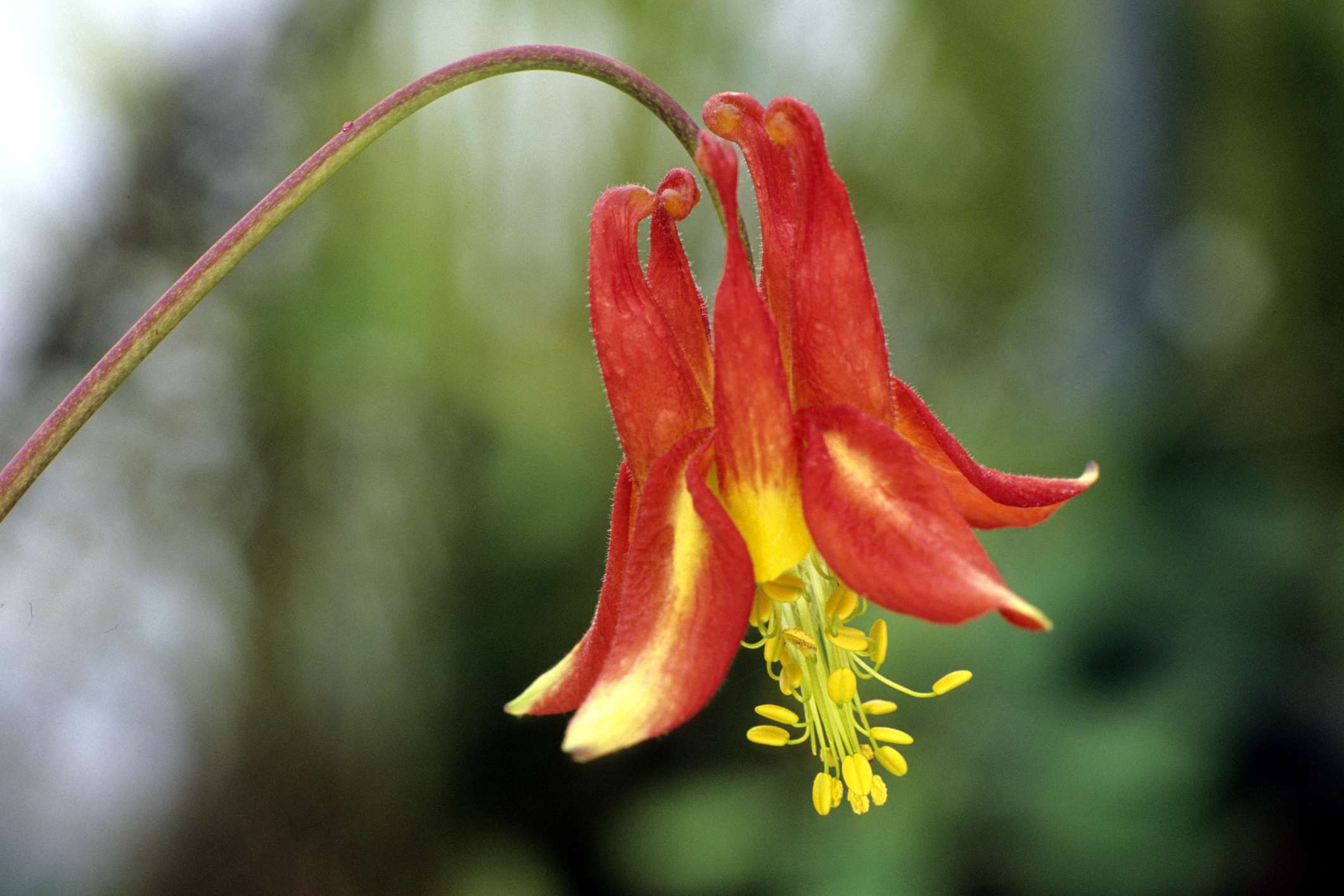 Red columbine (Aquilegia formosa) plant in bloom, with yellow stamens.