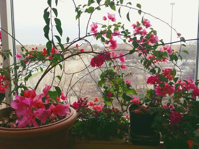 Growing asters as houseplants potting and care tips how to grow bougainvillea as a houseplant mightylinksfo