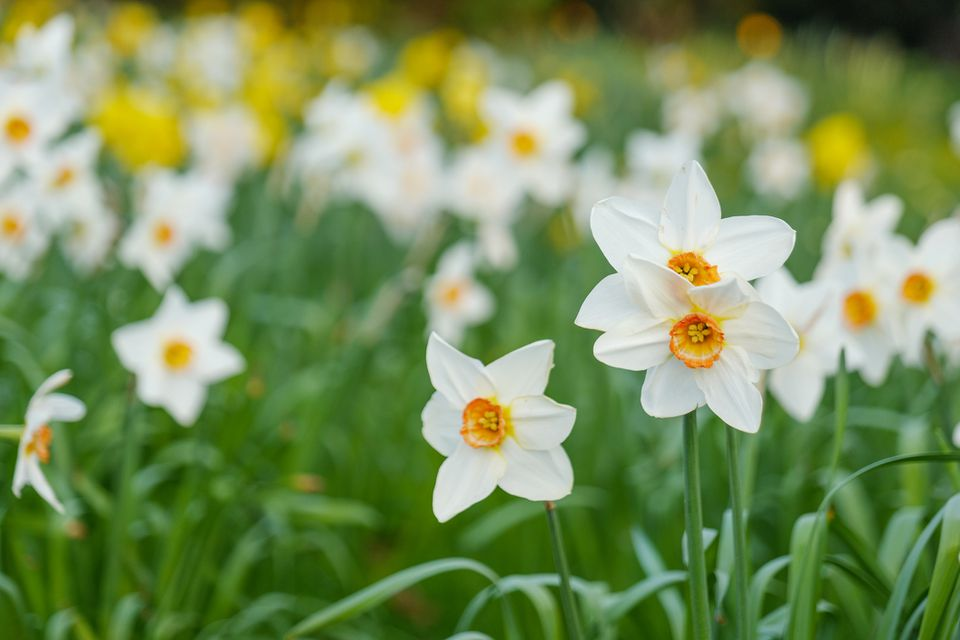 Close up view of blooming yellow and white narcissus or Daffodils field.