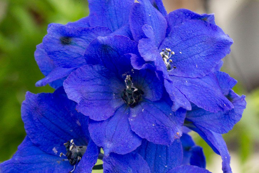 'Black Knight' delphinium plant with semi-double blue-purple flowers with white centers closeup