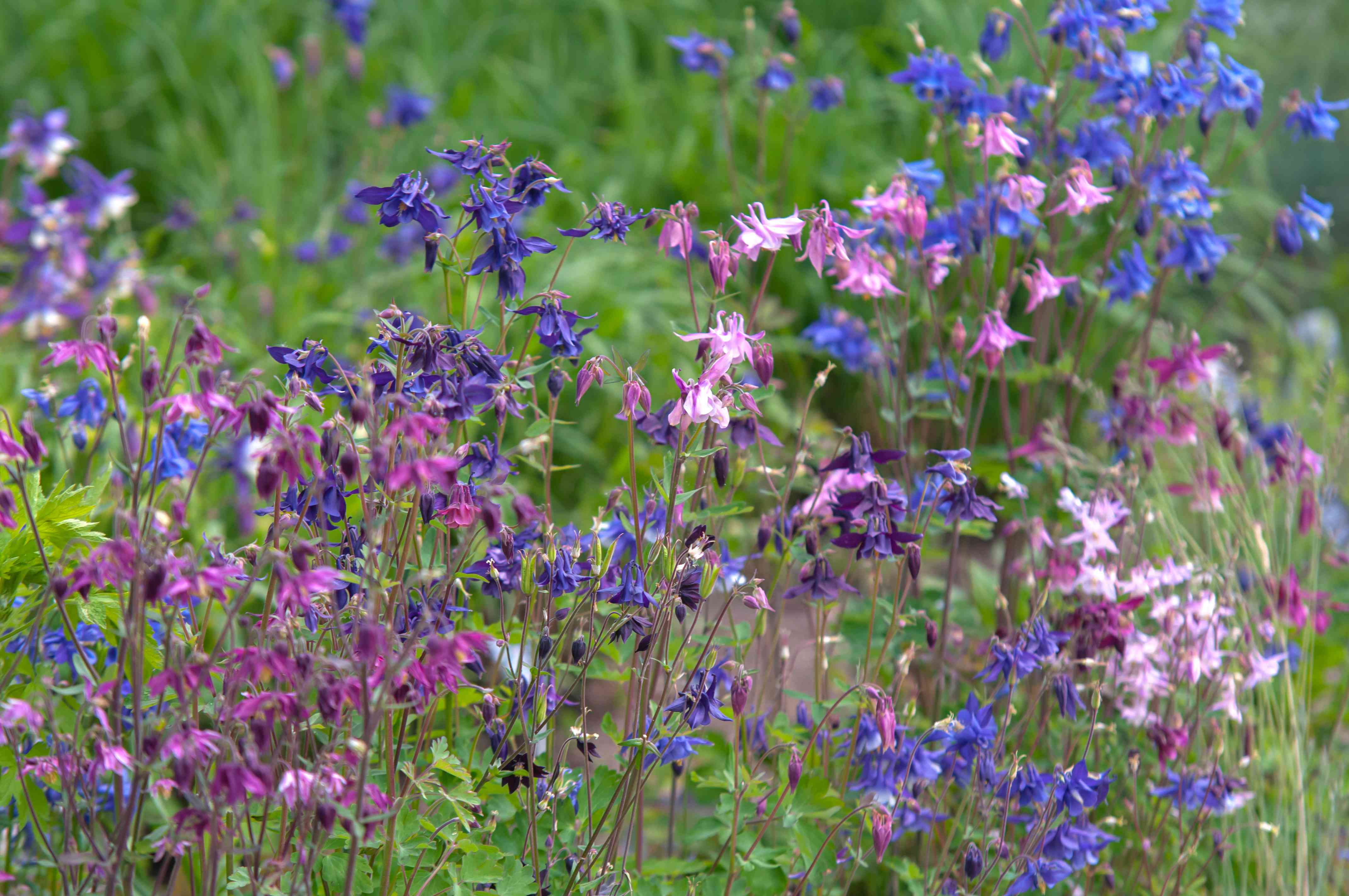 different colored columbine flowers