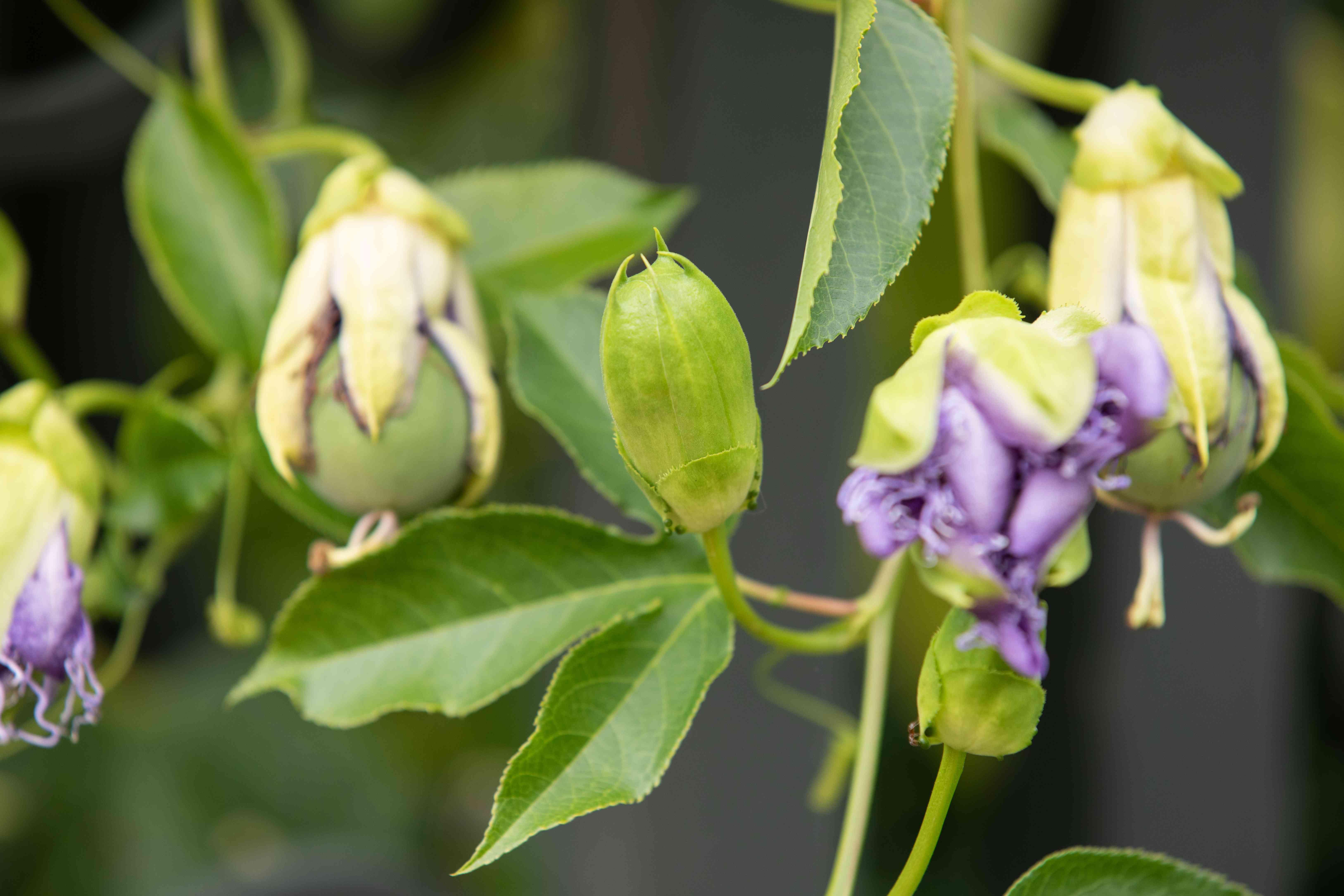 new passionflower budding