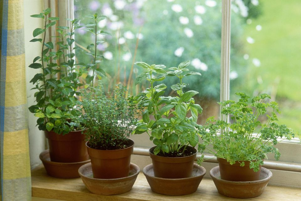 Herb in pot, mint, thyme, basil & parsley on window sill september